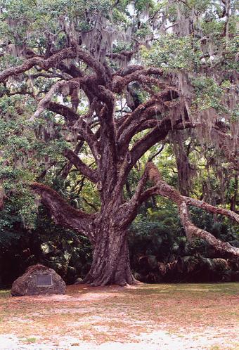 Ghost oak